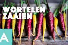 Wortelen zaaien – Angelo