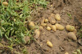 aardappels oogsten