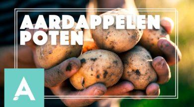 Aardappels poten – Angelo