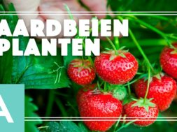 Aardbeien planten – Angelo