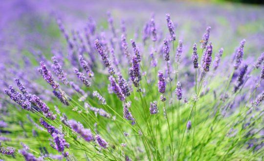 Lavendel-247Green