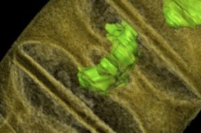Detail van de fossiele alg