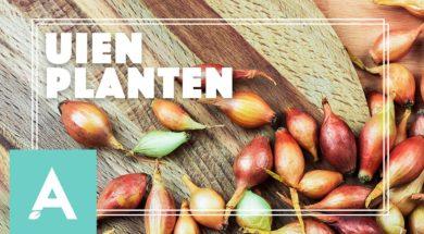 Uien planten – Angelo