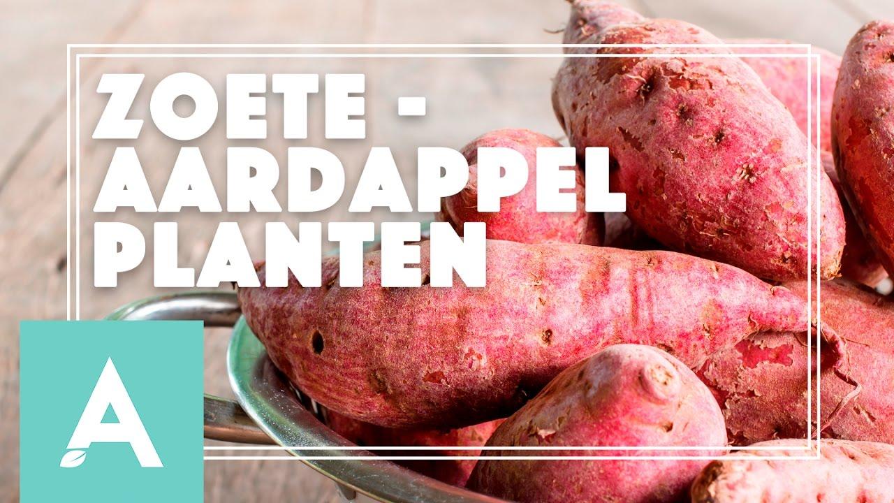 Zoete aardappel planten! – Grow, Cook, Eat #21