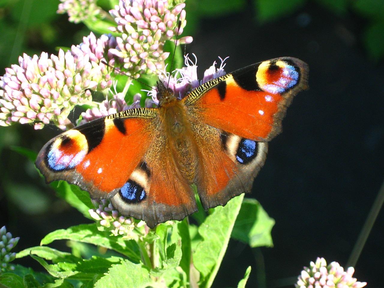 Zonnig weer maakt vlinders actief