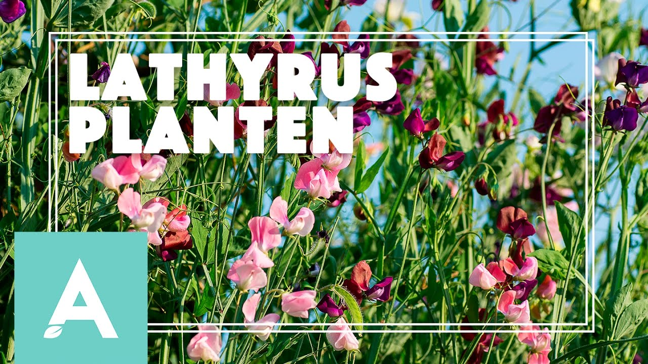 Lathyrus planten – Grow, Cook, Eat #25