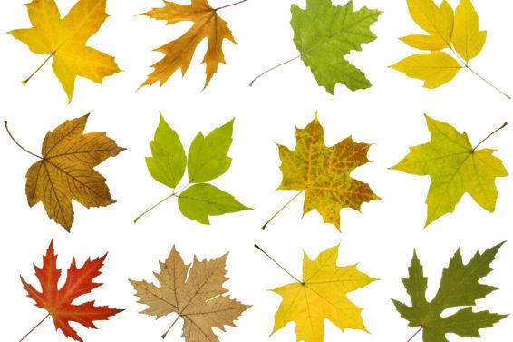 Esdoorns hebben prachtige bladvormen