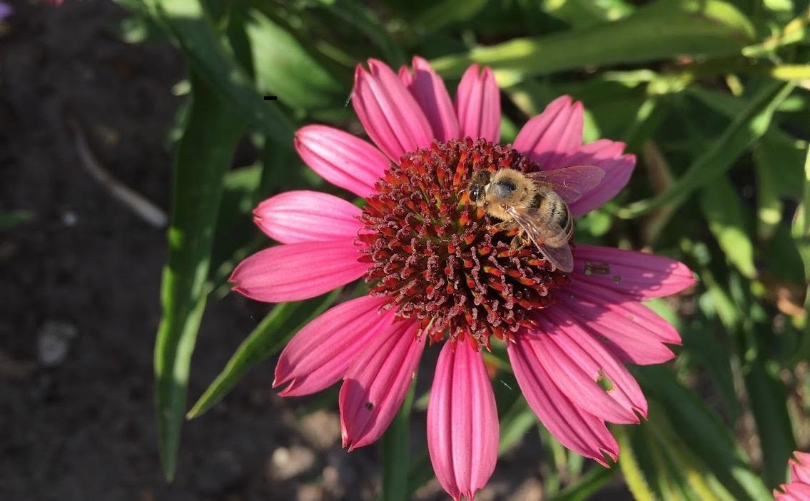 Kunnen paddenstoelen de bijen redden?