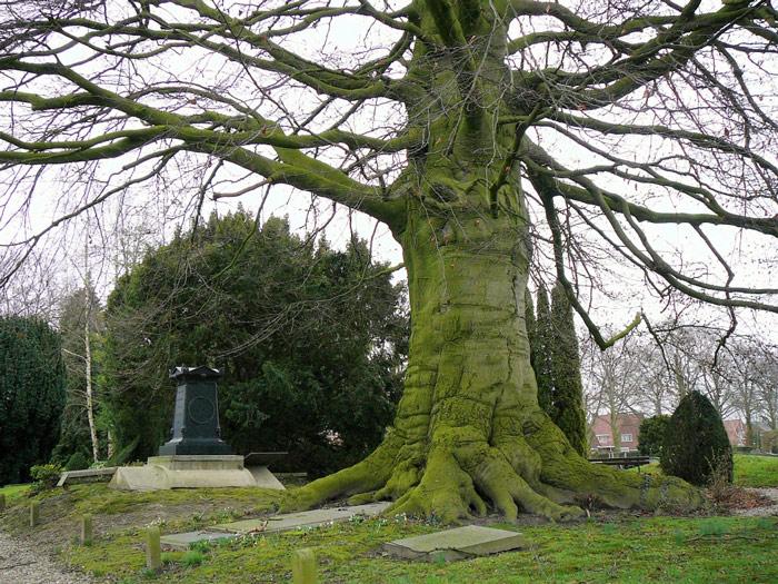 De oude beuk op het graf van de kapitein in Vianen