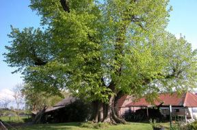 Bijzondere bomen van Utrecht – Linde