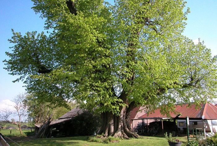 Bijzondere bomen van Utrecht - Linde