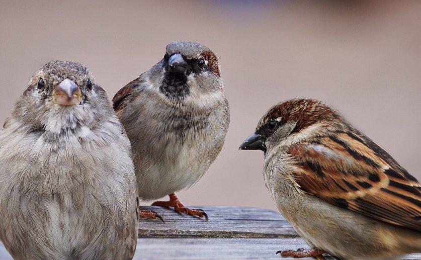 Tuinvogeltelling 2018: Huismus weer op 1, merel uit top 3