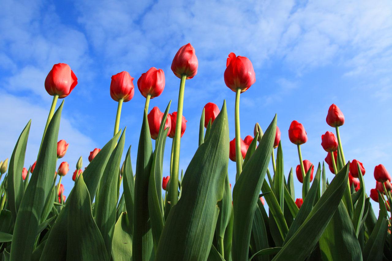 Primeur: Duurzame tulpen met certificaat PlanetProof