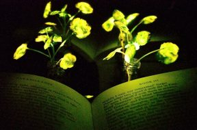 MIT-Glowing-Plants_0