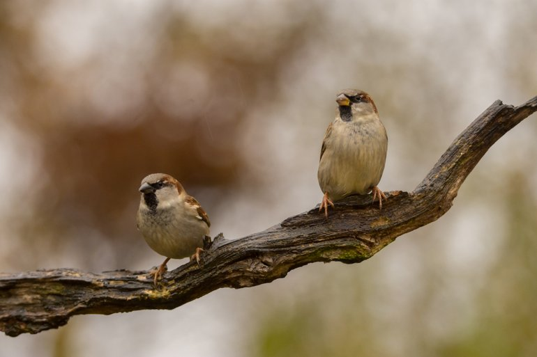 Huismus weer meest getelde tuinvogel in 2019