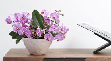 Vlinderorchidee of Phalaenopsis