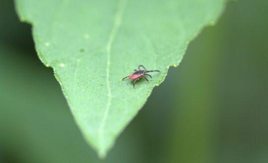 common_wood_bock_deer_tick_tick_arachnid_mite_species_macro_lyme_disease_health_risk-591848
